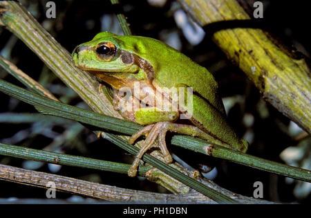 Mediterranean tree frog or Stripeless tree frog (Hyla meridionalis). Southern Spain. Europe - Stock Photo