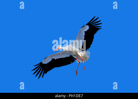 White stork (Ciconia ciconia) in flight. Southern Spain. Europe - Stock Photo