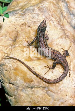 Spanish psammodromus (Psammodromus hispanicus). Southern Spain. Europe - Stock Photo