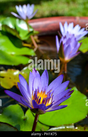 Blue Lotus (Nymphaea nouchali) growing in a small artificial pond in Kauai, Hawaii, USA. - Stock Photo