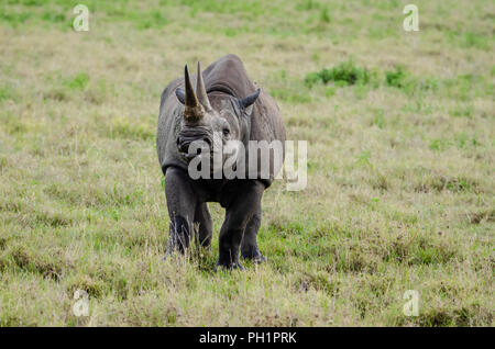 Black rhinoceros (Diceros bicornis) in Ngorongoro Crater in Tanzania - Stock Photo