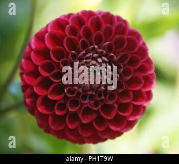 fleur de dahlia Pompon rouge, rote Dahlie pompon blume, rote Dahlienblüte pompon, flor de dalia pompon roja, red dahlia pompon flower - Stock Photo
