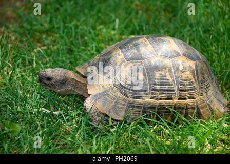 Turtle on the grass - Stock Photo
