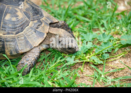 Turtle eating green grass - Stock Photo