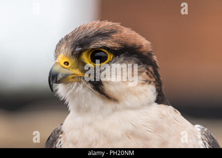 Close up of Lanner Falcon at falconry - Stock Photo