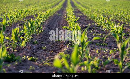 Corn field with young corn seedlings in early summer. - Stock Photo