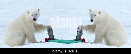 Two Polar Bears (Ursus maritimus) inspecting the rope and the pole holding an expedition ship, Svalbard Archipelago, Norway - Stock Photo