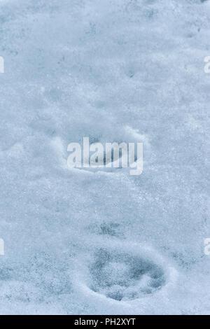 Polar Bear (Ursus maritimus) tracks on ice, Svalbard Archipelago, Norway - Stock Photo