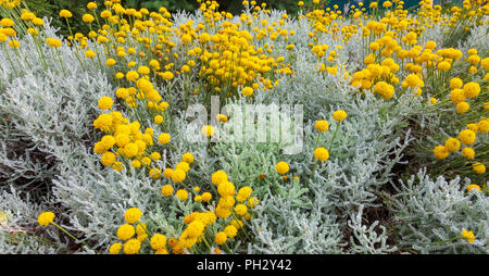 Santolina chamaecyparissus, traditional wild medicinal plant with yellow flowers