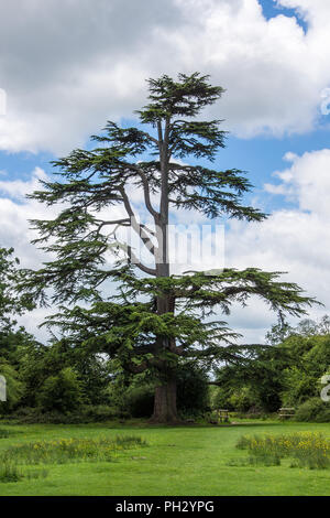 A Lone Scots pine ( Pinus sylvestris) tree growing in a forest park in Essex with space for future growth - Stock Photo