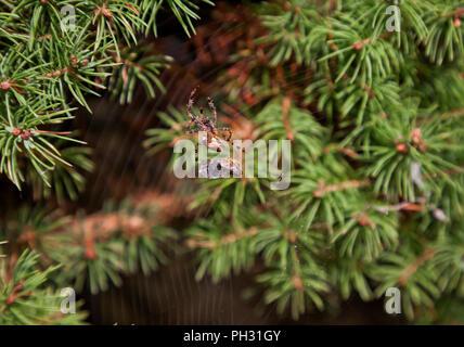 Common garden spider ( Araneus adiadematus ) wrapping web around captured wasp - Stock Photo