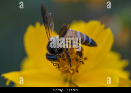Honey bee pollinating a yellow cosmos flower - Stock Photo