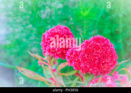 Close up of magenta cockscomb flower (Celosia Cristata) on green background. Cockscomb, Chinese Wool Flower, Celosia argentea L. var. cristata (L.) Ku - Stock Photo