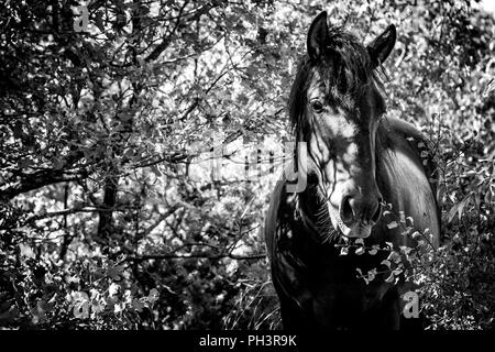 Wild horse in a forest (Black and white) - Stock Photo