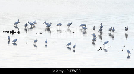 Group of spoonbills and egrets in the marsh at dawn - Stock Photo