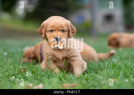 Golden retriever puppy holding a leaf in its mouth. - Stock Photo