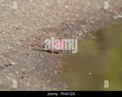 Red-billed firefinch, Lagonosticta senegala, Single male by water, Uganda, August 2018 - Stock Photo