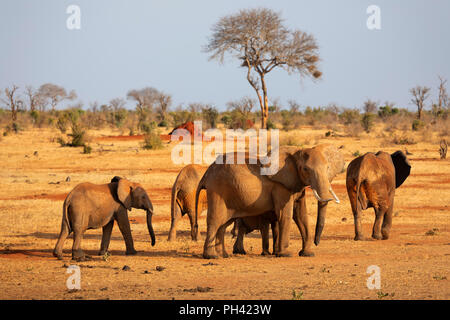 TSAVO EAST NATIONAL PARK, KENYA, AFRICA - A herd of African elephants and calf walking across the dry savannah with acacia tree in evening sunlight - Stock Photo