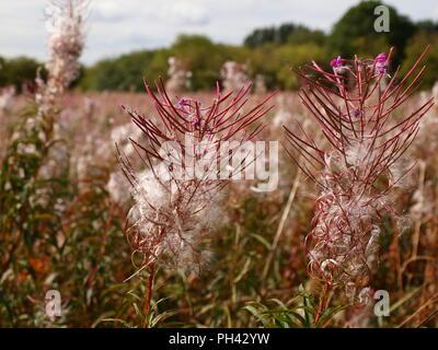 charmaenerion angustifolium fireweed rosebay willowherb shot in chorlton meadows manchester england in august - Stock Photo