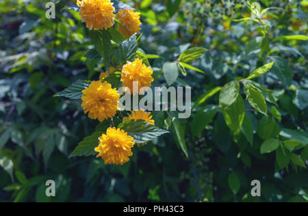 branch of blooming kerria with green blurred foliga on background - Stock Photo