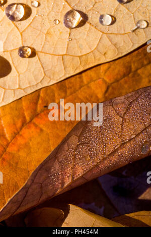 Closeup image of three fallen leaves in varied shades of brown, with raindrops - Stock Photo