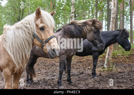 Horses in a Finland forest landscape. Animal background. Horizontal - Stock Photo