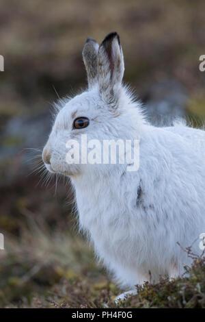 Mountain Hare (Lepus timidus). Portrait of adult in white winter coat (pelage). Cairngorms National Park, Scotland