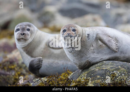 Harbour Seal (Phoca vitulina). Two adults resting on rocks at the shore. Svalbard, Norway - Stock Photo