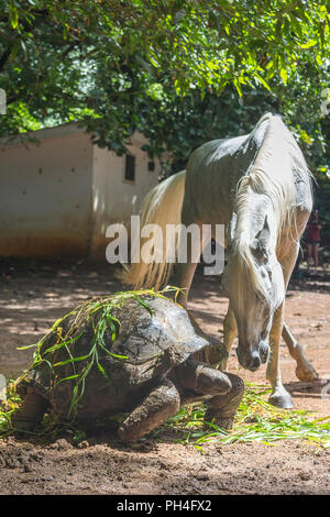Arabian horse. Gray mare interacting with Seychelles Giant Tortoise in a paddock. Seychelles - Stock Photo