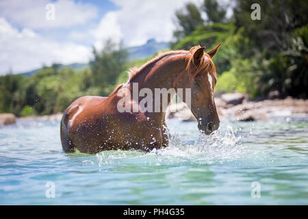Arabian horse. Chestnut gelding standing in the sea, playing with the water. Seychelles - Stock Photo