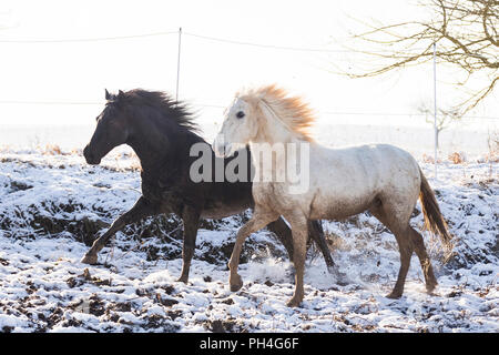Pure Spanish Horse, Andalusian. Pair of dirty adults galloping on  pasture in winter. Germany - Stock Photo