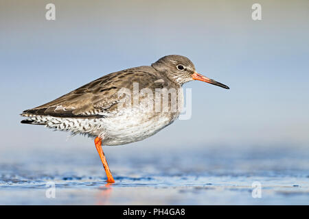 Common Redshank (Tringa totanus) in non-breeding plumage standing in shallow water. Germany - Stock Photo