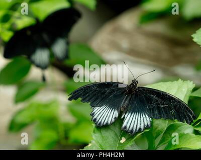White & black wings butterflies - Stock Photo
