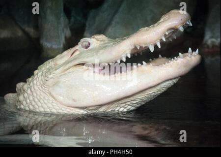 Rare albino alligator showing its teeth at the Georgia Aquarium in Atlanta, Georgia. (USA) - Stock Photo