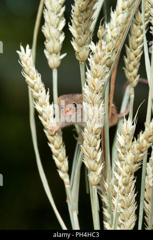 An upright photograph of a small harvest mouse. The rodent is balanced on ears of corn and it is peering out facing forward from amongst the stems. - Stock Photo