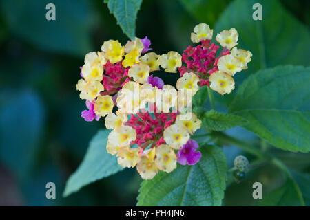 Lantana camara, also known as big-sage (Malaysia), wild-sage, red-sage, white-sage - tropical flower. - Stock Photo
