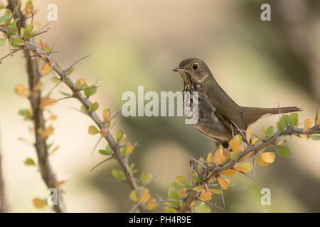 Swainsons thrush (Catharus ustulatus) establishing territory and making it known for all the others. - Stock Photo