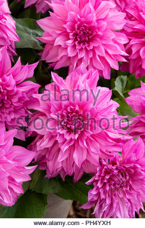 Dahlia 'Cafe au lait rose' in an english garden. UK.  Dinner Plate Dahlia - Stock Photo