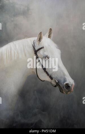 Swiss Warmblood. Portrait af gray stallion with head tack. Germany - Stock Photo