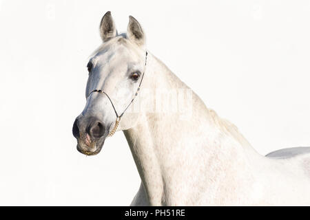 Shagya Arabian. Portrait of gray stallion with halter, seen against a white background. Austria - Stock Photo