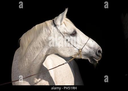 Shagya Arabian. Portrait of gray stallion with halter, seen against a black background. Austria - Stock Photo