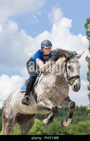 Austrian Warmblood. Gray mare with rider jumping over an obstacle. Austria - Stock Photo