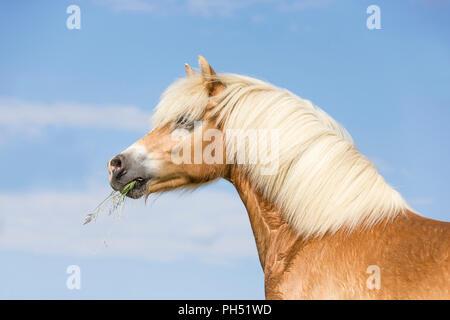 Haflinger Horse. Portrait of a mare. Austria - Stock Photo