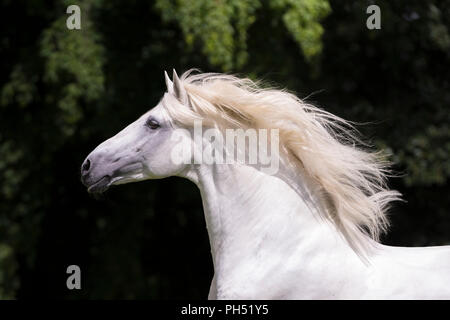 Lusitano. Portrait of gray stallion with mane flowing, seen against a dark background. Germany - Stock Photo