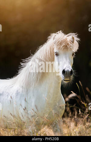 Icelandic Horse. Gray gelding standing on a pasture. Germany - Stock Photo
