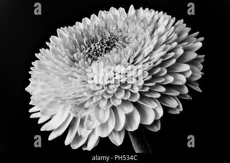 Monchrome black and white floral fine art still life detailed macro of a single isolated gerbera blossom on black background - Stock Photo