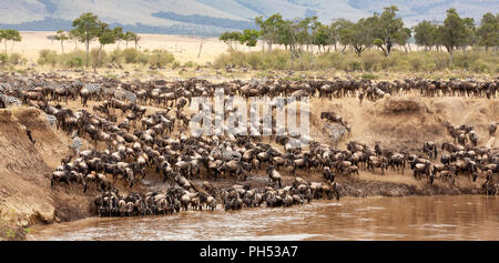 A panorama of wildebeest and zebra gathered on the banks of the Mara river during the annual great migration. Masai Mara, Kenya. - Stock Photo