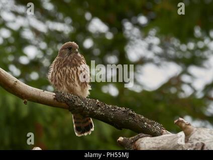 Young fledged female Common Kestrel, Falco tinnunculus, West Lothian, Scotland, UK - Stock Photo
