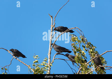 Jackdaws sitting in a birch tree - Stock Photo