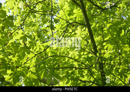 Horse Chestnut, Aesculus hippocastanum, leaves against sky. - Stock Photo
